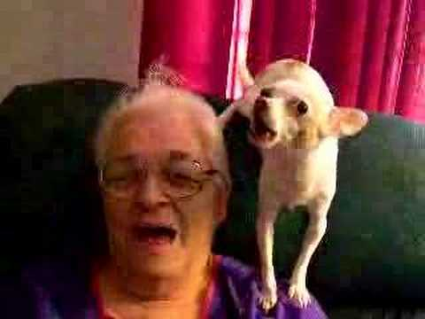 Tio the singing Chihuahua