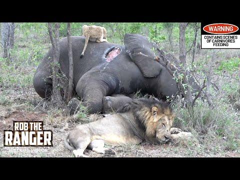 Lions Eat An Elephant! (Rebuilding The Othawa Pride - 104)