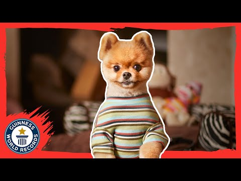 Records - Subscribe for more: http://bit.ly/subscribetoGWR Jiff, a Pomeranian from Los Angeles, California, has earned his place in the 60th anniversary edition of the Guinness World Records book, released...