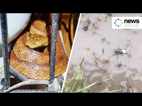Australian floods force snakes and spiders to higher ground