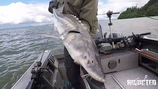 The best sturgeon fishing of the year on the Columbia River happens in the Astoria Estuary. Sturgeon invade Astoria from June through September to eat anchovy and other baitfish that migrate to the estuary in the summer. In June 2017 Washington and Oregon Fish and Wildlife departments decided the sturgeon numbers had increased to a healthy sustainable number to allow a retention season. Gone Catchin Guide Service ran a trip down there for his clients and we were lucky enough to see the footage from the trip. Please enjoy and make sure to subscribe. We'll keep you updated with tutorials, tips & tricks! Follow us:Website: http://www.fishingaddictsnorthwest.comFacebook - https://www.facebook.com/fishingaddictsnwInstagram - http://instagram.com/fishingaddictsnw/#Youtube - https://www.youtube.com/FishinaddictsNWTwitter - https://twitter.com/fishinaddictsnw