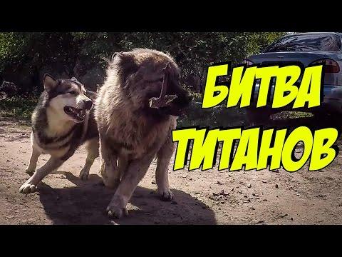 Собаки напали на