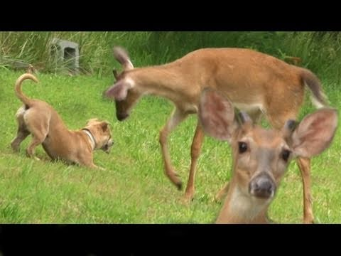 teasing - This funny adorable little dog teases a deer in our yard. The deer plays and chases the dog and the dog does the same back to the deer. The deer was hungry a...