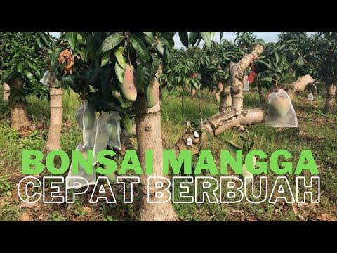 Mango tree bonsai....tehnik & results