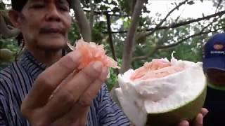 Video INDAHNYA BERBAGI Part 11 BERRRREEBUUT !!! Jeruk Pamelo & Batik Klasik Cantiiikk Kab Pati Bons Durian MP3, 3GP, MP4, WEBM, AVI, FLV September 2018