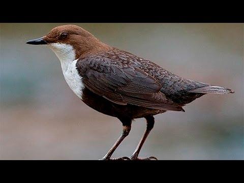 Оляпка (птица) - водяной воробей