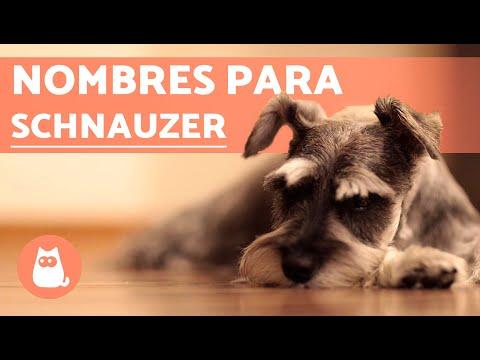 Nombres para perros schnauzer