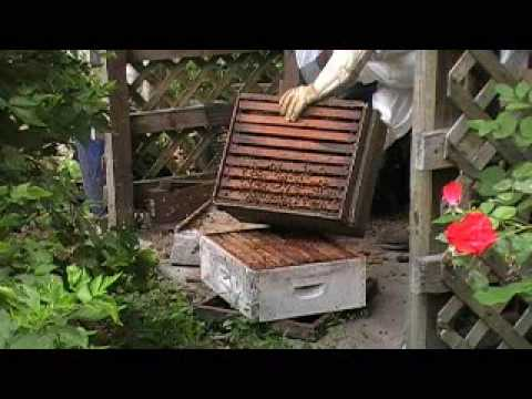 Honey Bees Thriving in Old Hive Box