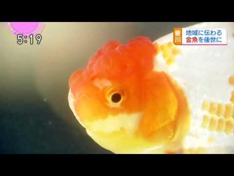 四国オランダ獅子頭(金魚)