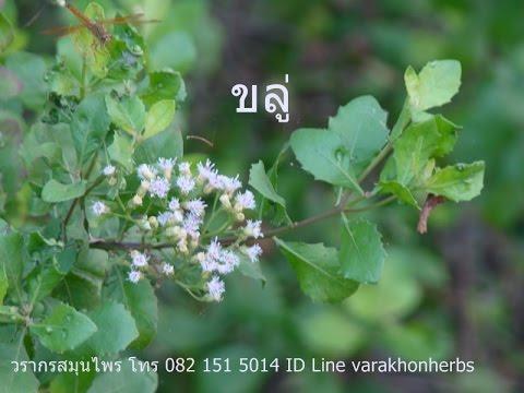 ต้นขลู่ วรากรสมุนไพร โทร 0821515014, ID line varakhonherbs