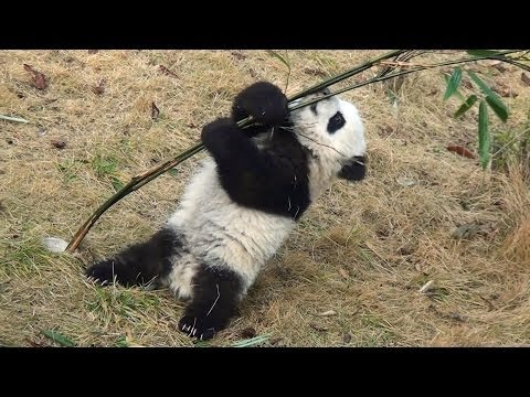 Panda baby playing with bamboo January 2014 at Chengdu  大熊猫 パンダ 成都