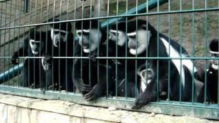 Gerezy - Zoo Oliwa (1).MPG