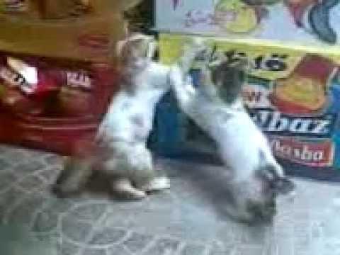 لعب القطط