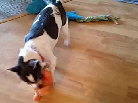 Chloe toy playing (видео)