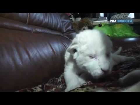 Новорожденные белые львята пьют молоко из бутылочки