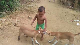 Desi Dogs and Kid friendly playing