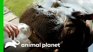 Download Youtube: Jessica the Hippo Raised by Human Parents