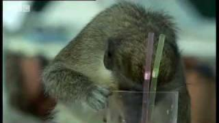 Alcoholic Vervet Monkeys
