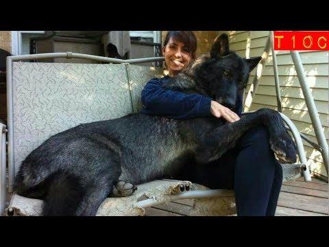 Video Top 10 razas de perros lobo mas grandes que existen download in MP3, 3GP, MP4, WEBM, AVI, FLV January 2017