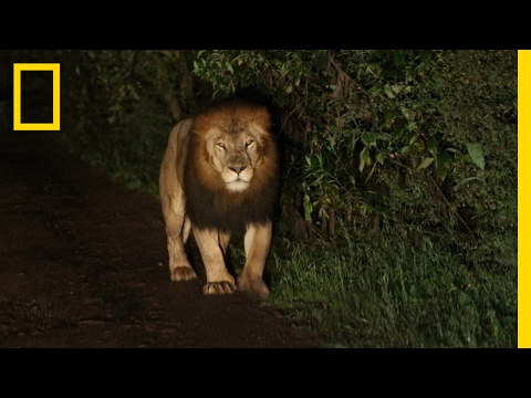 A Riveting Encounter with a Rare Black-Maned Lion | National Geographic