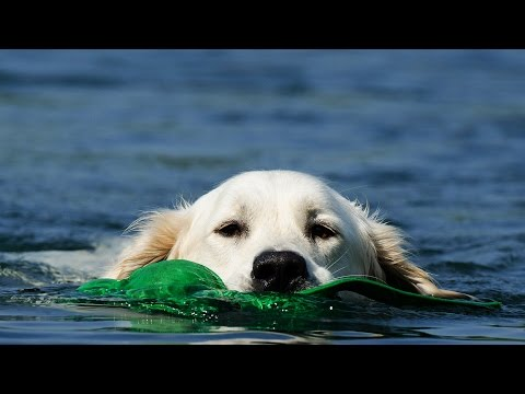 10 golden retriever facts that will make you smile