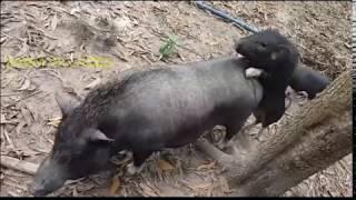 FUUNY PIG - BREED PIG - WHEN PIG LOVE ll Farm Village.P1
