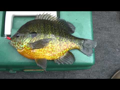 Panfish lure may be the best ever for Bluegill fishing tackle
