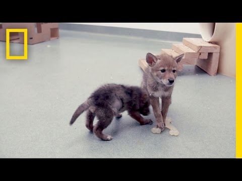 Researching How to Live With Coyotes   Short Film Showcase