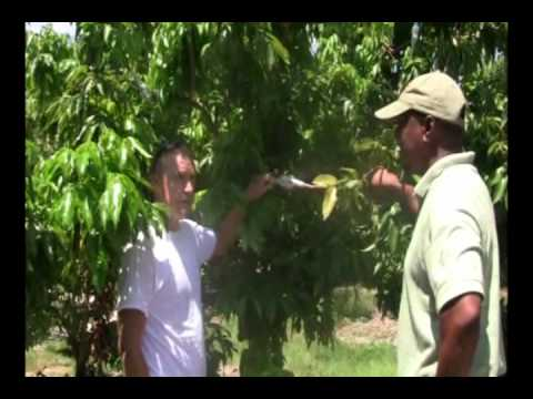 Lychee air layering and its economics.wmv