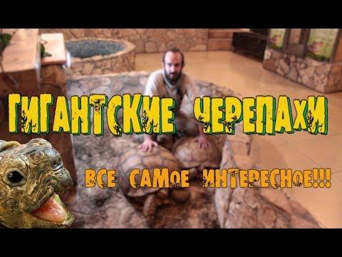 ГИГАНТСКАЯ АФРИКАНСКАЯ ШПОРОНОСНАЯ ЧЕРЕПАХА!