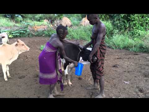 *CoW's BLOOD..... To DriNK!! Living With The MuRSi Tribe... (OMO, Ethiopia)