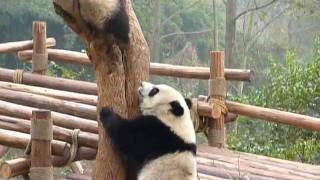 Giant pandas at the ChengDu 成都 Panda Research Center