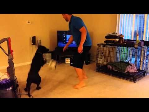 Chocolate lab plays volleyball