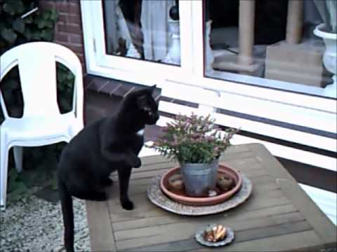 Poes zit achter vlieg aan / cat chases flying insect