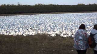 Victoriaville (QC) Canada  city photo : Victoriaville, QC, Estimated 250000 snow geese