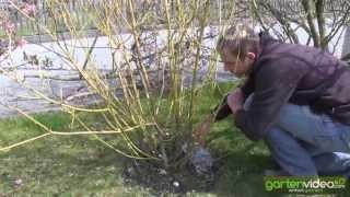 #1014 Wie schneide ich Hartriegel (Cornus stolonifera flaviramea)