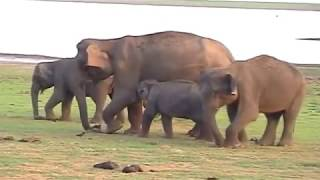 Kabini India  city photo : KABINI RIVER LODGE AND WILD ASIATIC ELEPHANTS IN ACTION