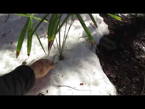 Small Trachycarpus palm tree in the snow