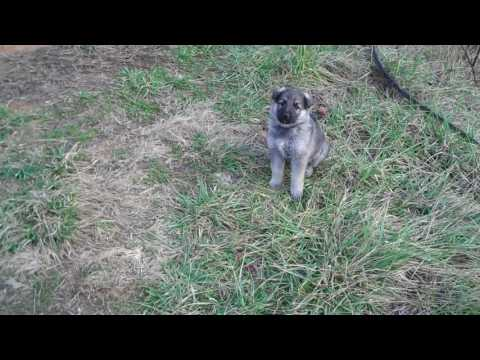 Crescent Moons Mr. Night Rider Silver Sable Male Puppy