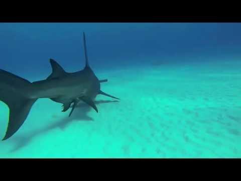 Speel Bimini: haaienparadijs op aarde af