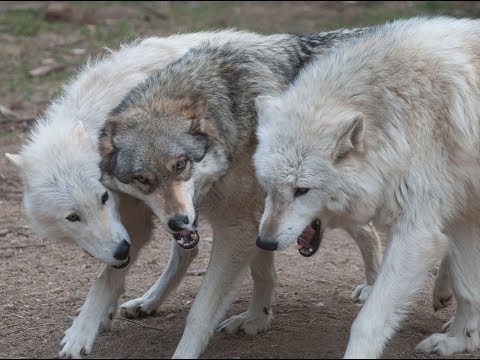 Live-Cam: Wölfe im Internationalen Wolf Center (Ely,  ...