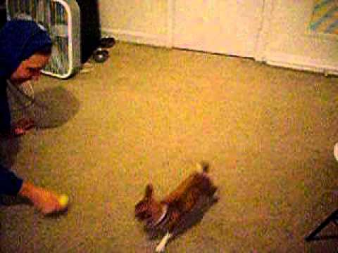 Very Excited Chihuahua Gets Christmas Gift