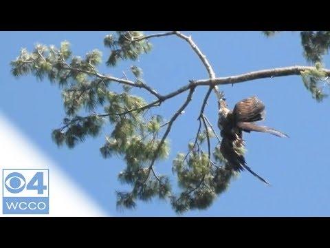 這隻老鷹已經卡住樹枝上幾天,但當地政府部門卻拒絕救援,當大家都以為牠只能等死時一名老兵對著牠開了一槍…