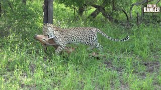 Tlangisa female leopard hoisting an impala kill into a tree after losing some of it to a hyena.Filmed at Idube Game Reserve in the Sabi Sand Wildtuin, Greater Kruger National Park, South Africa (http://www.idube.com/static)Filmed in 4K UHD resolution using the Sony AX100 video cameraSubscribe for more great wildlife clips: http://goo.gl/VdOHuSFollow #nowfilming on social networks for LIVE photo updatesROB THE RANGER WILDLIFE VIDEOS on Social Networks:TWITTER: http://goo.gl/U8IQGfBLOG: http://goo.gl/yJJ3pTFACEBOOK: http://goo.gl/M8pnJhGOOGLE+: http://gplus.to/robtherangerTUMBLR: http://goo.gl/qF6sNS#YouTubeZA#YouTubeSSA#SAYouTubers