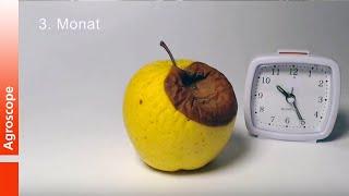 Video Décomposition accélérée des pommes à 20 ° C MP3, 3GP, MP4, WEBM, AVI, FLV Oktober 2017