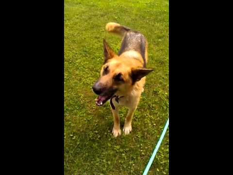 German Shepherd Dog Goes Crazy For The Hose, Sounds Like He's Screaming