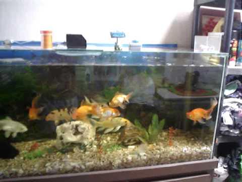 Carpas koi acuario videos videos relacionados con for Carpas para acuario