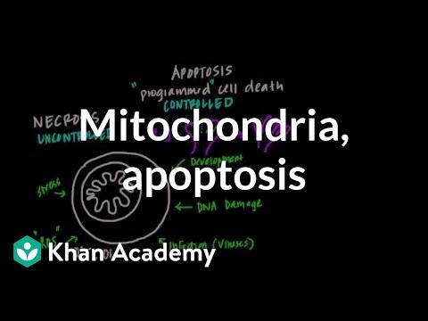 Mitochondria, Apoptosis, and Oxidative Stress