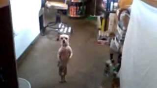 Куче, което танцува салса!