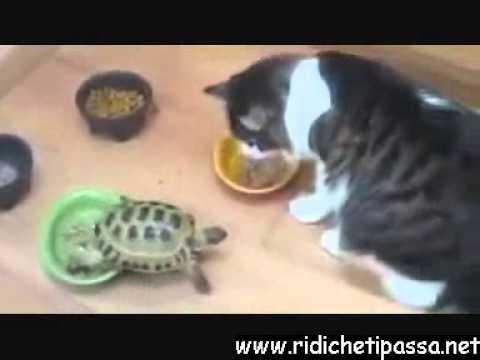 tartaruga che attacca i gatti